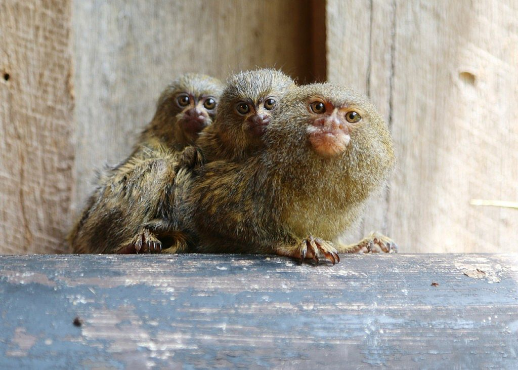 Stolen Marmosets Back Together
